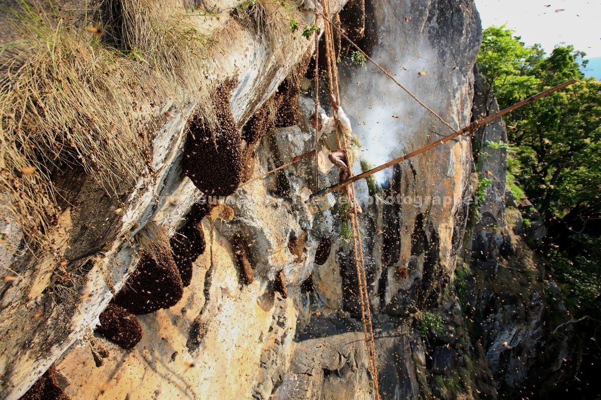 Then Mari, le vieux chasseur de miel de la communauté Adivasi des Irulas, en équilibre sur son échelle de corde. Photographie : Eric Tourneret