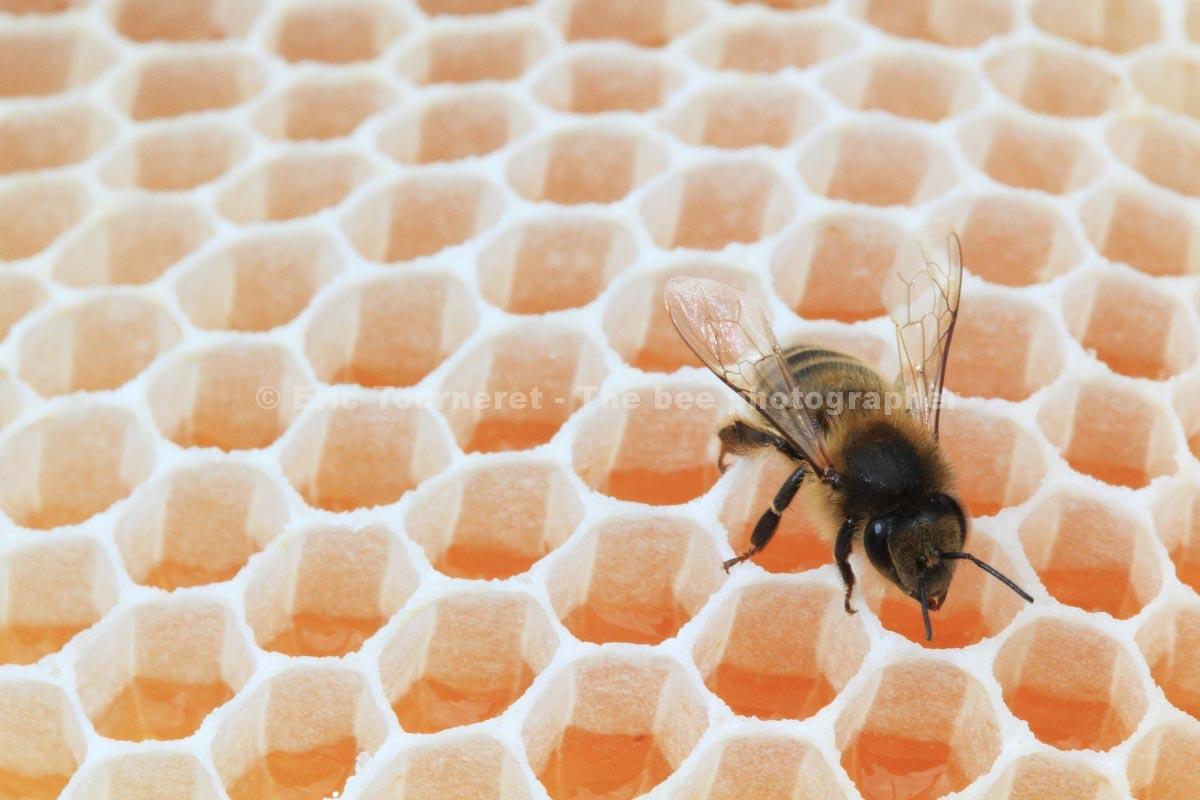 Une abeille posée sur des alvéoles remplies de miel. Photographie : Eric Tourneret